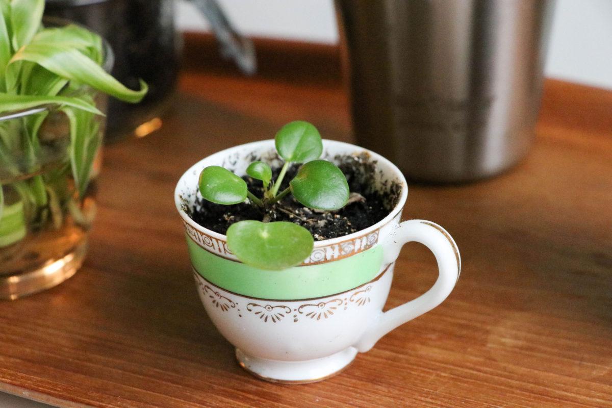 Elefantöra är ju inte ätlig, men ville bara visa hur snyggt det blir att plantera en liten stickling i en mycket liten kopp :)