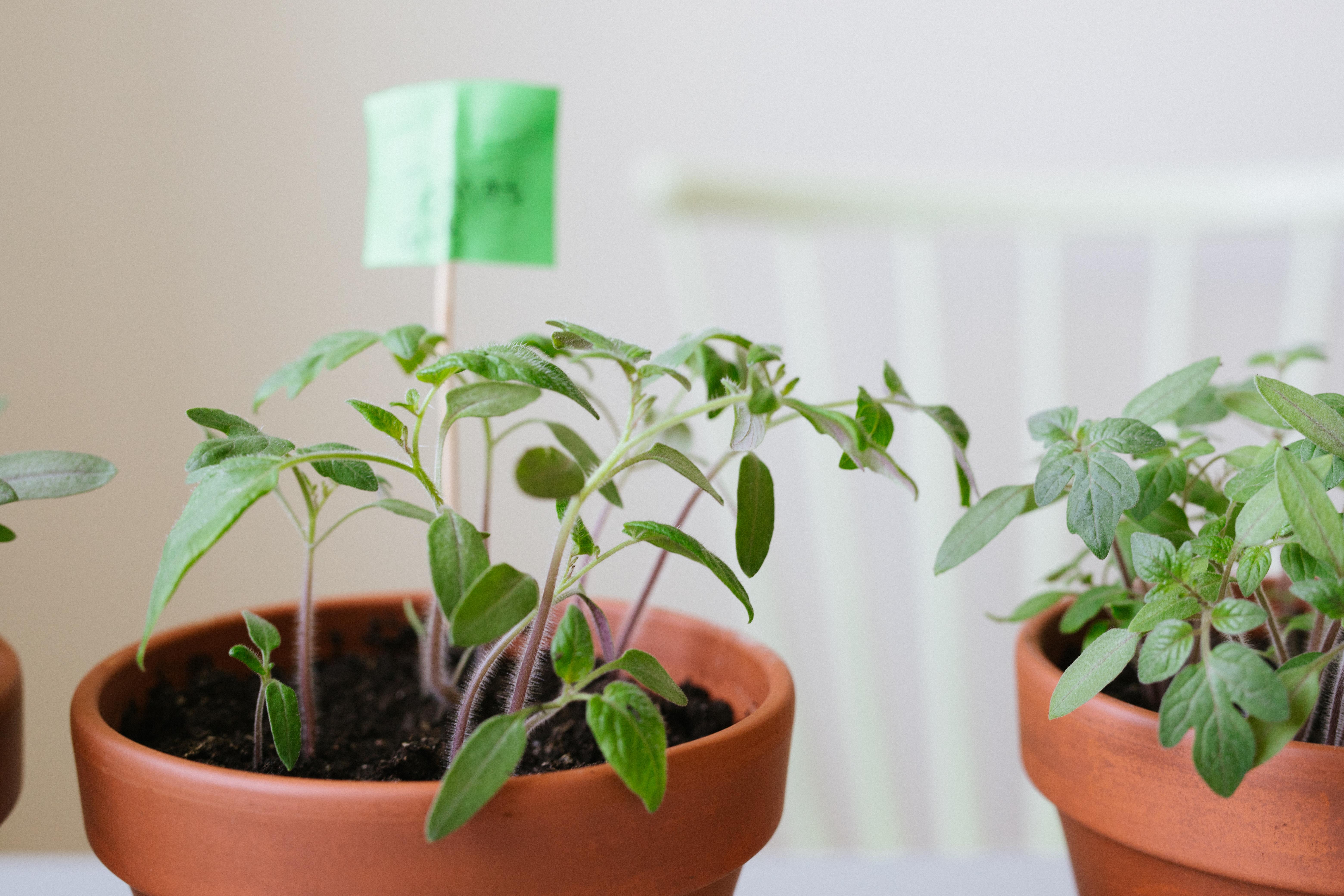 Plantera om tomater