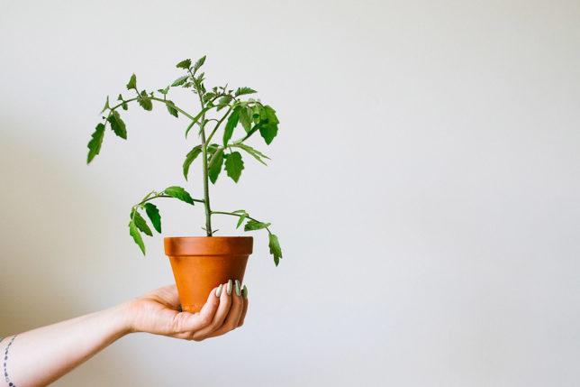 Tjuva tomater – ta bort alla tjuvskot och andra bra tips!